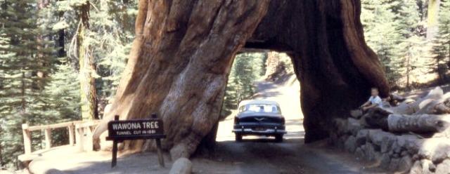 L'albero a forma di tunnel
