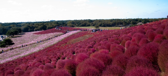 Hitachi Seaside Park - Giappone