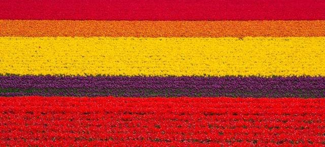 Campi di tulipani - Olanda