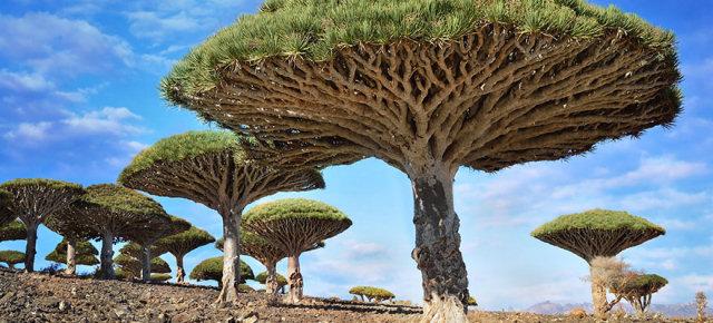 Albero del sangue di drago - Yemen