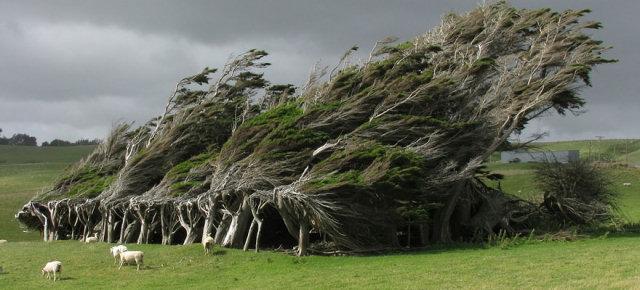 Alberi spazzati dal vento - Nuova Zelanda