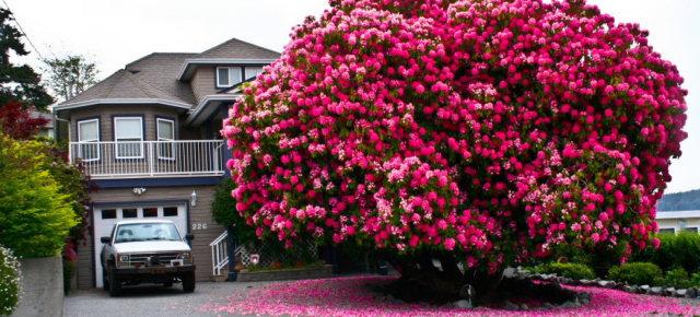Rododendro di 125 anni - Canada