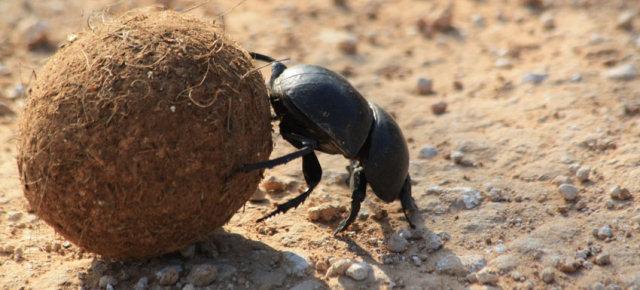 La forza dello scarabeo stercorario