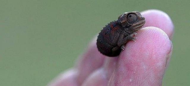 Brookesia micra