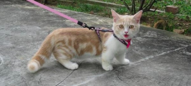 Munchkin, il gatto bassotto