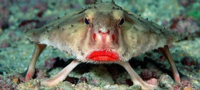 Pesce pipistrello con labbra rosse