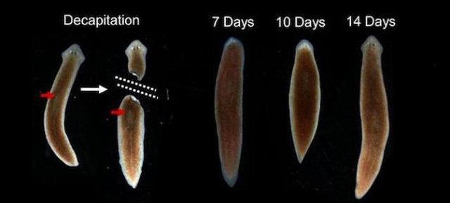 La clonazione della planaria
