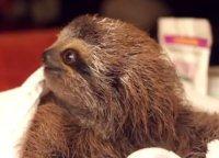 Il tenero bradipo galante