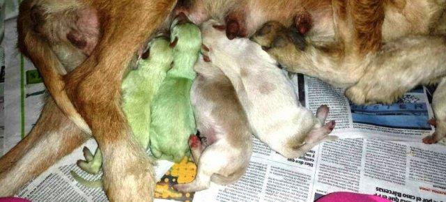 Cuccioli di cane verdi nati in Spagna