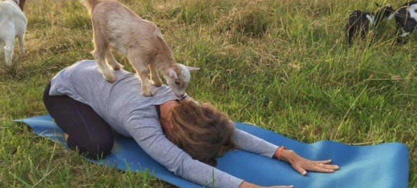 Fare yoga con le capre funziona meglio