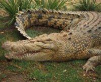 I coccodrilli da guardia