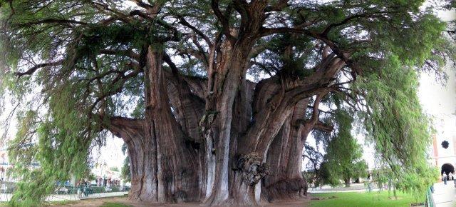 L'albero famoso che incanta il Messico