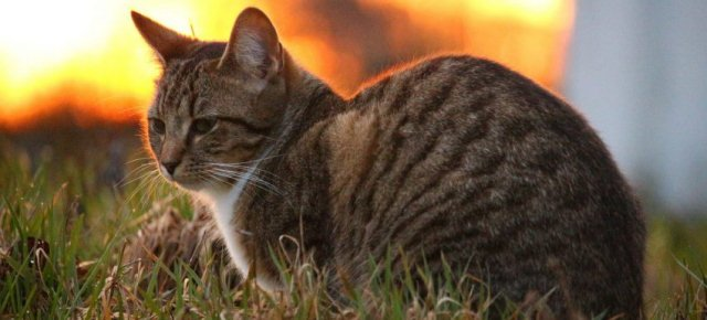 I gatti miagolano in lingue diverse?
