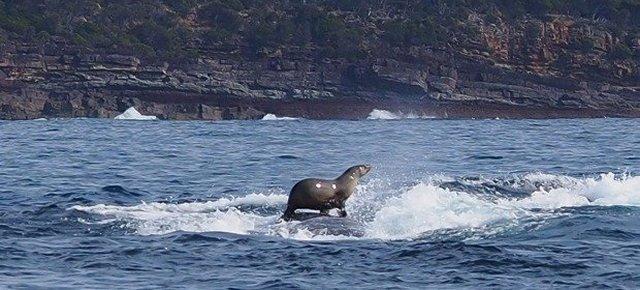 La foca che fa surf su una balena