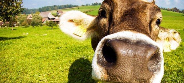 Noleggia anche tu una mucca online!