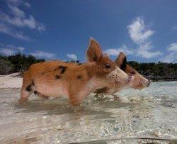 Pig Beach, l'isola popolata da maiali