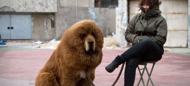 Zoo fa passare cane a pelo lungo per leone