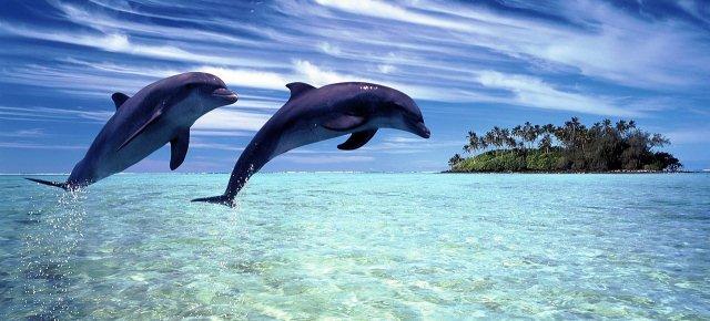 Delfini si drogano con l'aria del pesce palla
