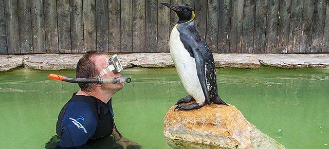 Il pinguino che prende lezioni di nuoto