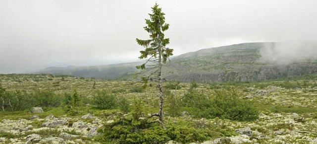 L'albero più vecchio al mondo ha 9500 anni