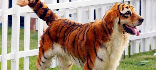 Dalla Cina arrivano i cani tigrati