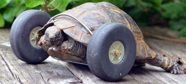Tartaruga torna a camminare con le protesi