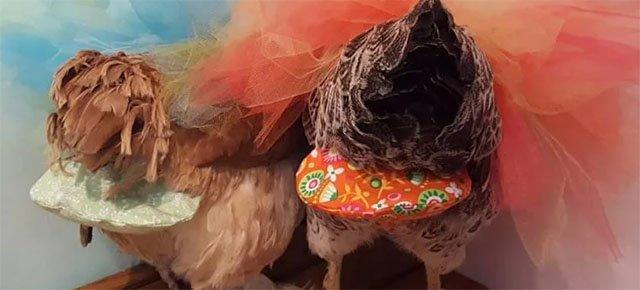 Pannolini di lusso per galline