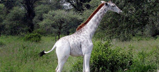 Ecco l'unica giraffa bianca al mondo