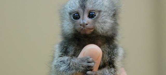 Dalla Cina ecco le scimmie da pollice
