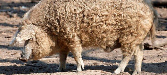 Il maiale che somiglia ad una pecora
