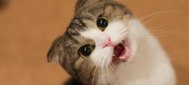 Impossibile capire i miagolii dei gatti