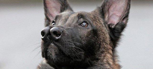 Il cane con due nasi trova casa