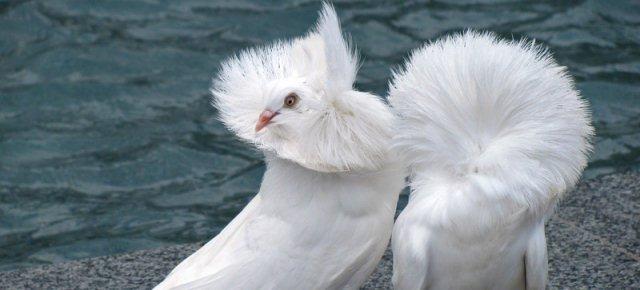 Colombo cappuccino: l'uccello più elegante