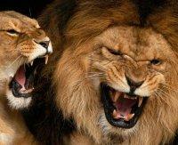 Lascia aperta gabbia dei leoni