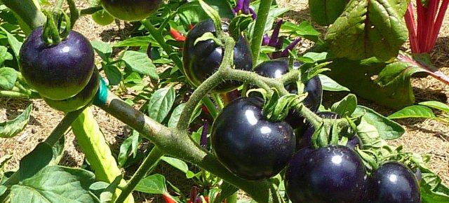 Ecco i pomodori neri, che fanno bene!