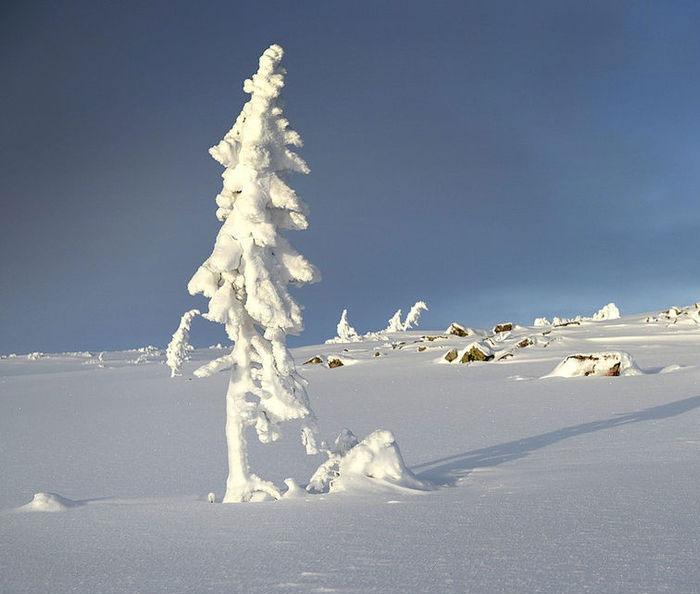 L'albero più vecchio del mondo ha 9.500 anni 2