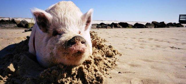 Questo maiale ha viaggiato più di te!