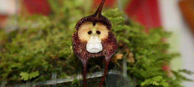 Ecco l'orchidea a forma di scimmia