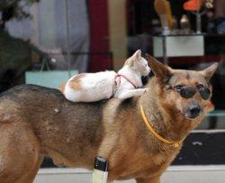 Gatto cavalca un cane con occhiali da sole