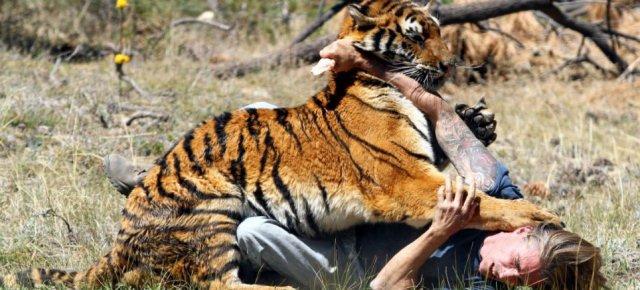 L'uomo che addestra le tigri ad attaccarlo