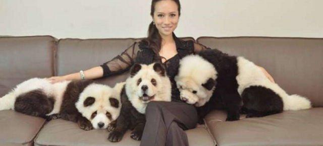 Cani trasformati in panda, è polemica