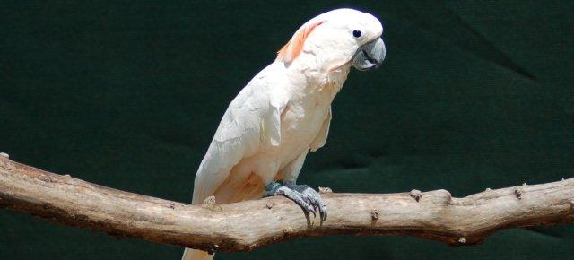 Peaches: il pappagallo litigioso