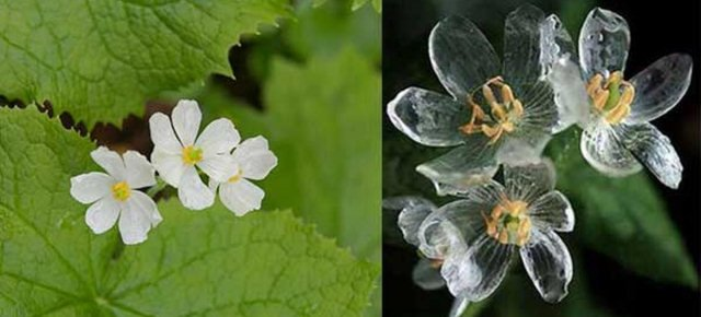 Il fiore che diventa trasparente se piove