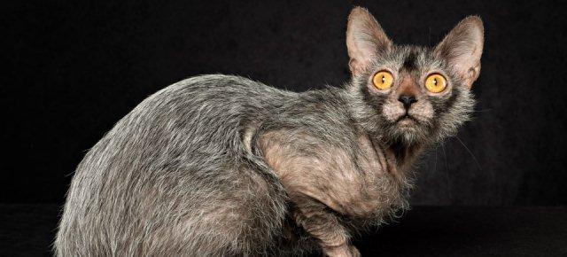 Ecco il gatto-lupo mannaro