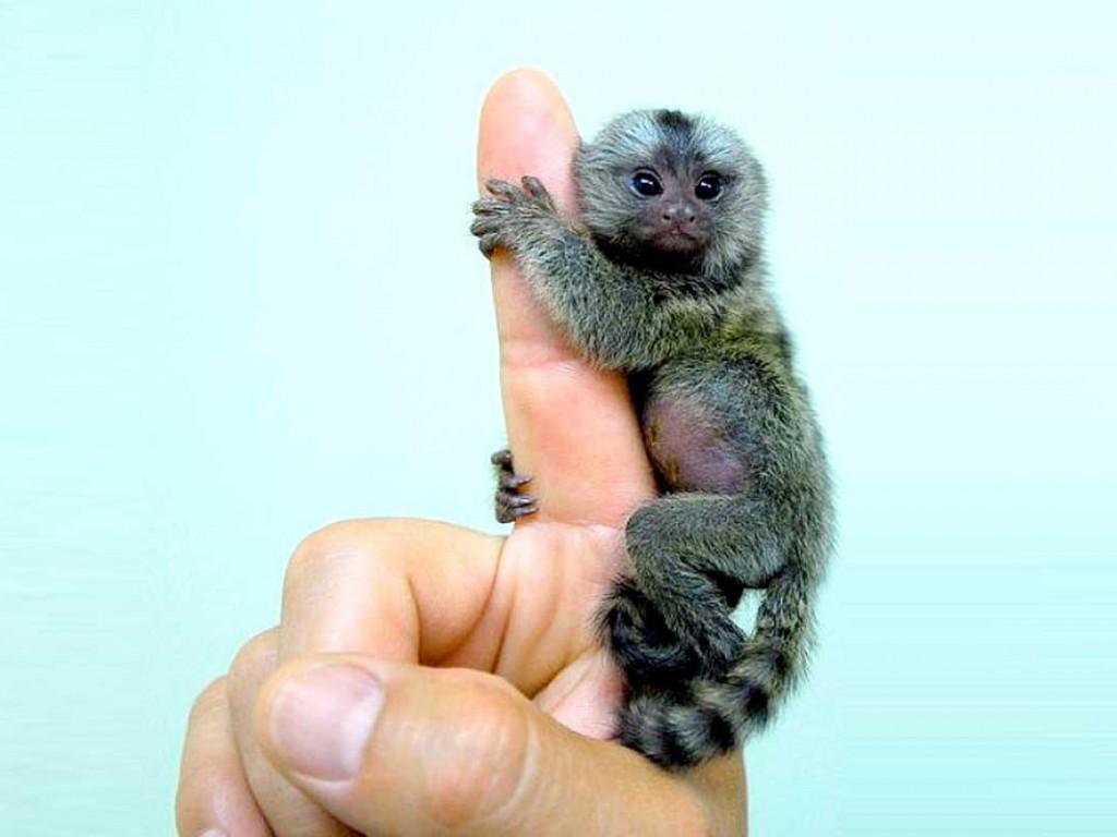 Dalla Cina ecco le scimmie da pollice 2