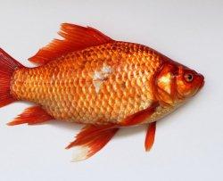 La puzza di pesce rende più sospettosi