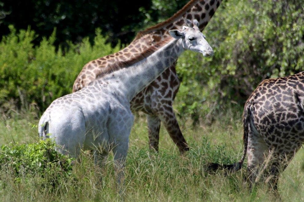 Ecco l'unica giraffa bianca al mondo 2