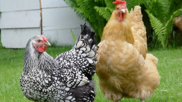 Chicken Machine - Vietnam