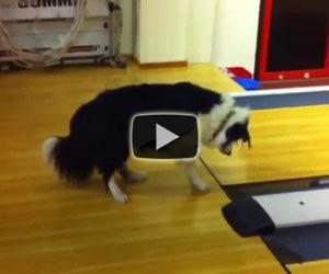 Cane ispeziona la pista da bowling