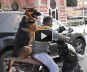Cane va sullo scooter ad Istanbul